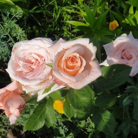 Роза чайно-гибридная Дарк Ангажемент  С3