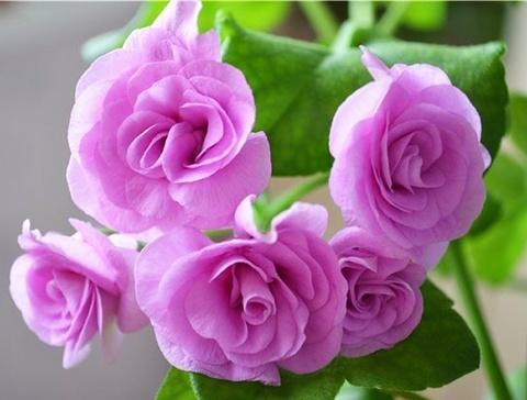 Пеларгония PAC Lilac Rose