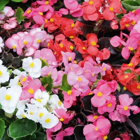 Рассада Бегония всегдацветущая (микс) Цветочная поляна 12шт