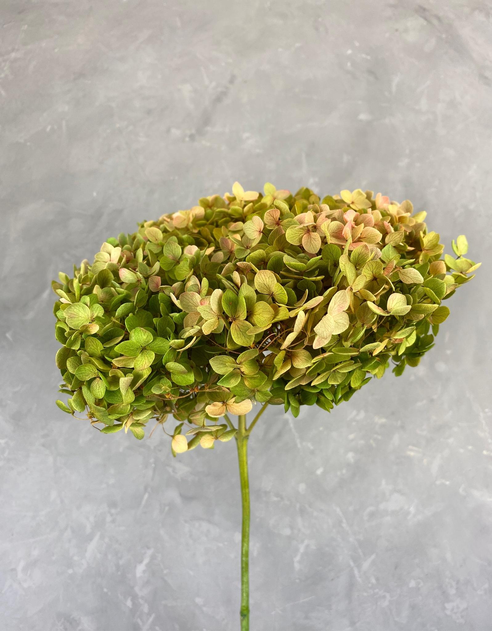 Гортензия на ветке оливковая