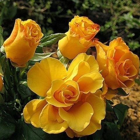 Роза чайно-гибридная Керио С3