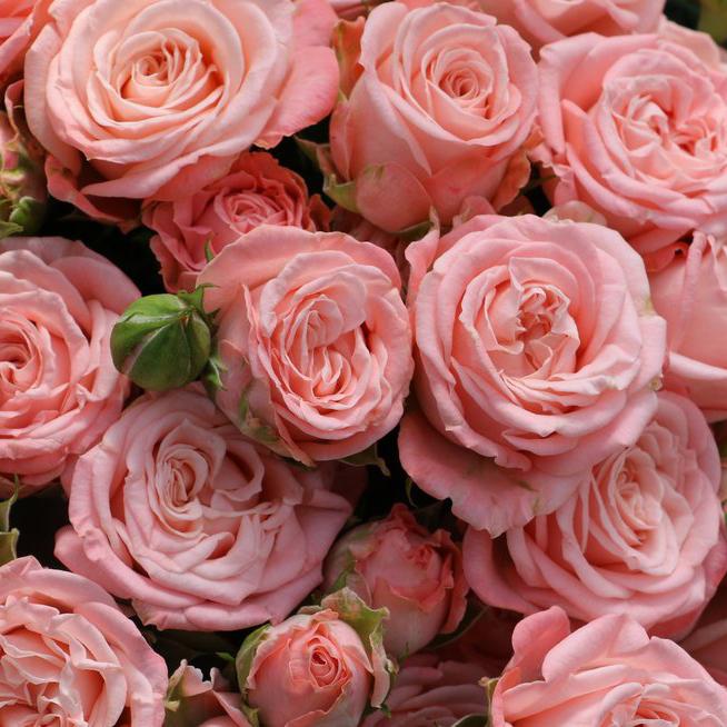 Букет 9 кустовых пионовидных роз Madam Bombastic