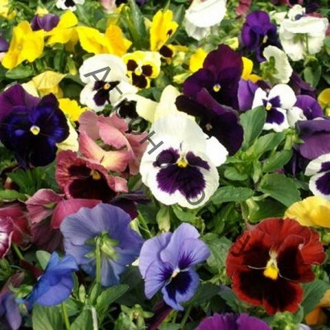 Рассада Виола крупноцветковая микс (микс) Цветочная поляна 12шт