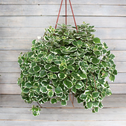 Плектрантус пестрый (Plectranthus variegata)