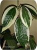 Хойя,  Macrophylla variegata