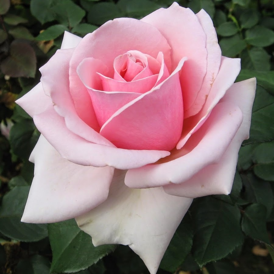 Роза чайно-гибридная Панама