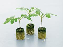 Тетсукабуто F1 семена подвоя (Takii / Таки)