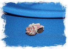 Раковина Angaria nodosa, Ангария нодоса