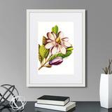 Марк Кейтсби - Caribian Flora Purple Magnolia, 1740г.