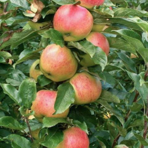 Яблоня колоновидная Валюта (2-летняя)п/ карлик. ОКС