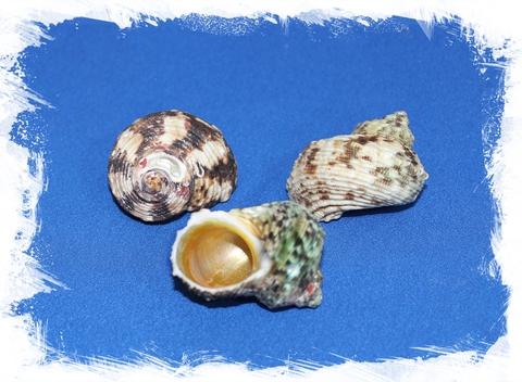 Золотоустый Турбо 4,5 - 5,5 см