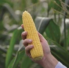 Турбин F1 семена кукурузы (Clause / Клос)