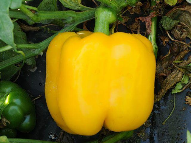 Перец Милдред F1 семена перца сладкого (Enza Zaden / Энза Заден) Милдред_F1_семена_овощей_оптом.jpeg