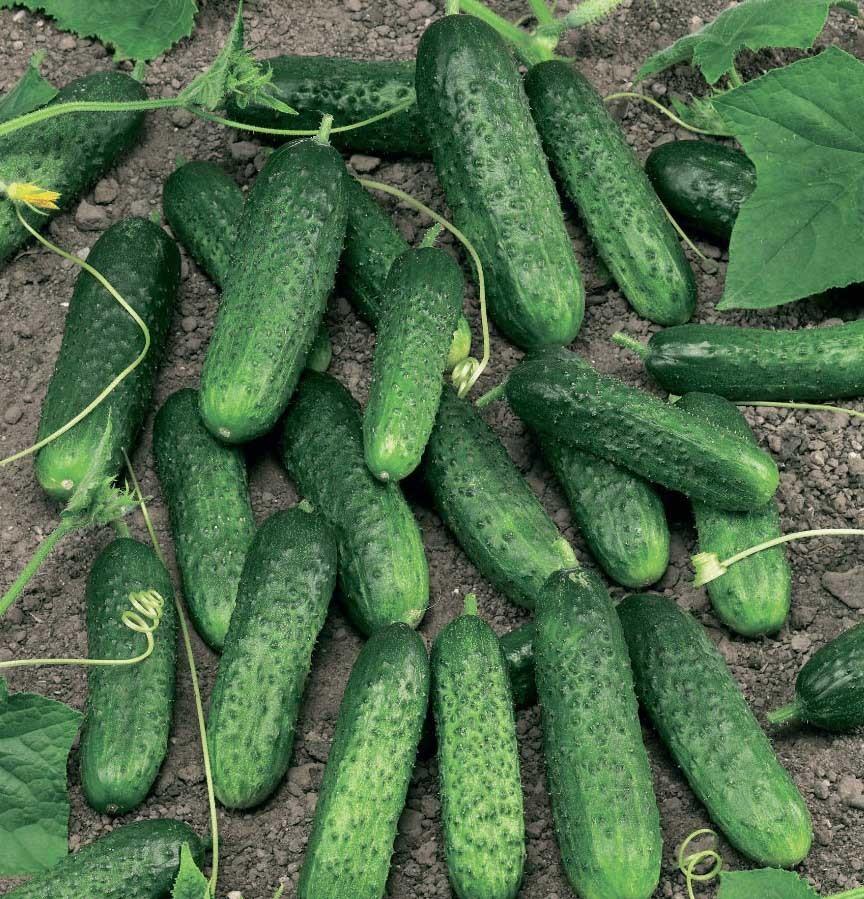 Огурец Меренга F1 семена огурца партенокарпического (Seminis / Семинис) Меренга_F1-1.jpg