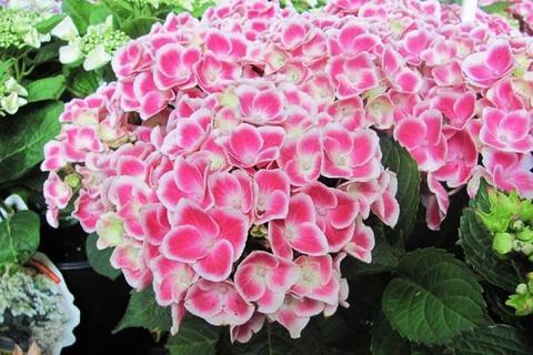 Гортензия крупнолистовая  (цветёт всё лето) Камилла