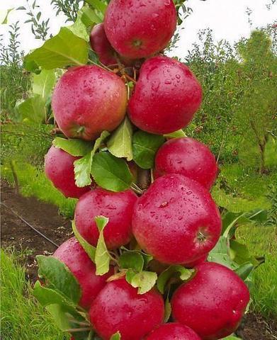 Яблоня колонновидная (подвой 54-118 полукарл.) Арбат (С7.5)