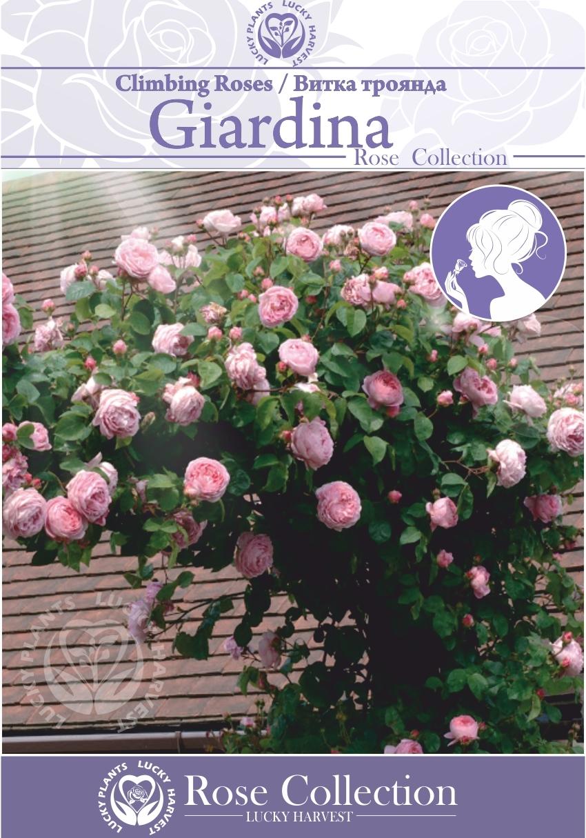 Троянда Витка Великоквіткова