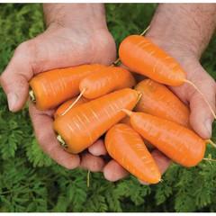 Шакира F1 семена моркови курода/шантане (Гавриш)