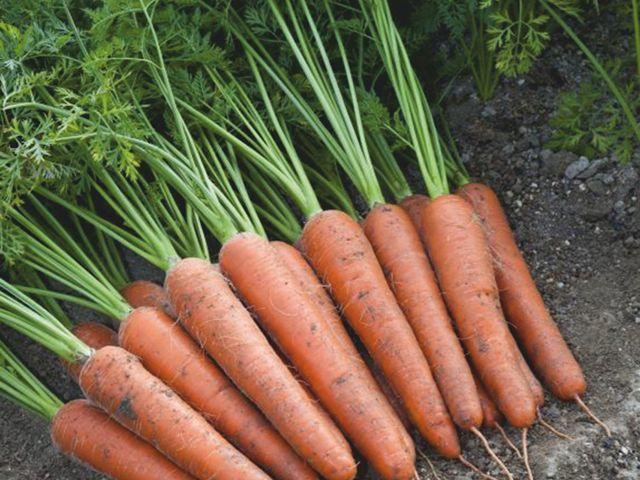 Курода/Шантане Аурантина F1 семена моркови курода/шантане (Takii / Таки) Аурантина_F1_семена_овощей_оптом.jpeg
