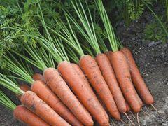 Аурантина F1 семена моркови курода/шантане (Takii / Таки)
