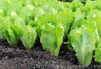 Nunhems Мульти семена салата листового (Nunhems / Нюнемс) мульти.jpg