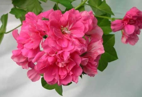 Пеларгония Pink Chart