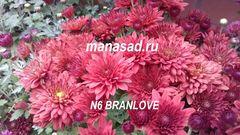 Хризантема мультифлора (шаровидная) Branlove N6
