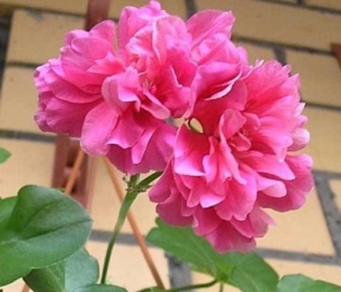 Пеларгония Pink Gay Baby
