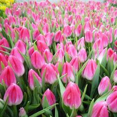 tylpan-bolroyal-pink-02