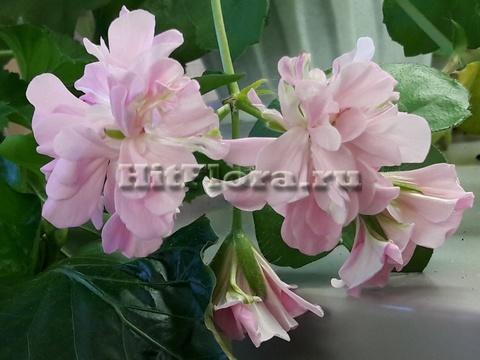 Пеларгония Pink Rosebud