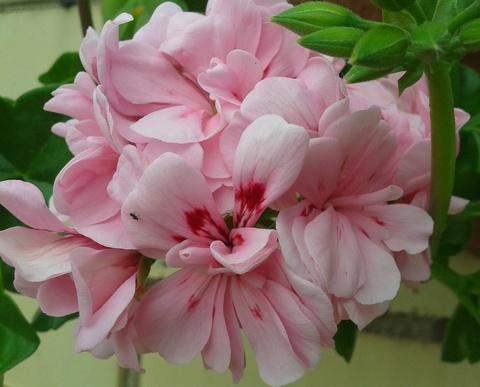 Пеларгония Starbright Rose