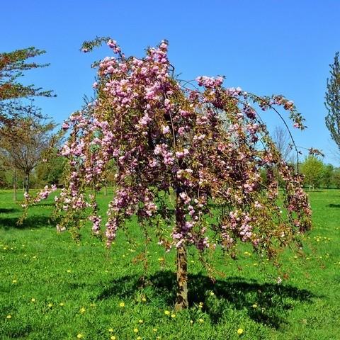 Яблоня ягодная Пендула С5 150-180 Ра 120