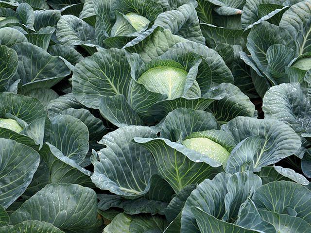 Белокочанная Структа F1 семена капусты белокочанной (Takii / Таки) Структа_F1.jpeg