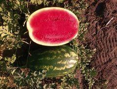 Одиссей F1 семена арбуза (Sakata / Саката)