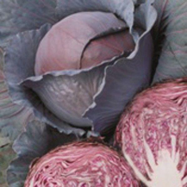 Краснокочанная Регилиус F1 семена капусты краснокочанной (Syngenta / Сингента) Ред_Династи_семена_овощей_оптом.jpg