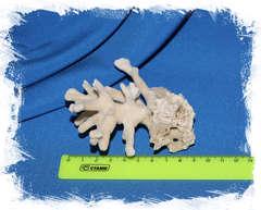 Коралл бежевый 9 см.