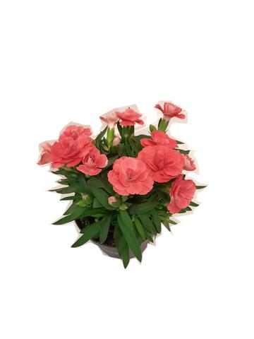 Гвоздика Оскар цвет насыщенная пудра_pudragvozdika
