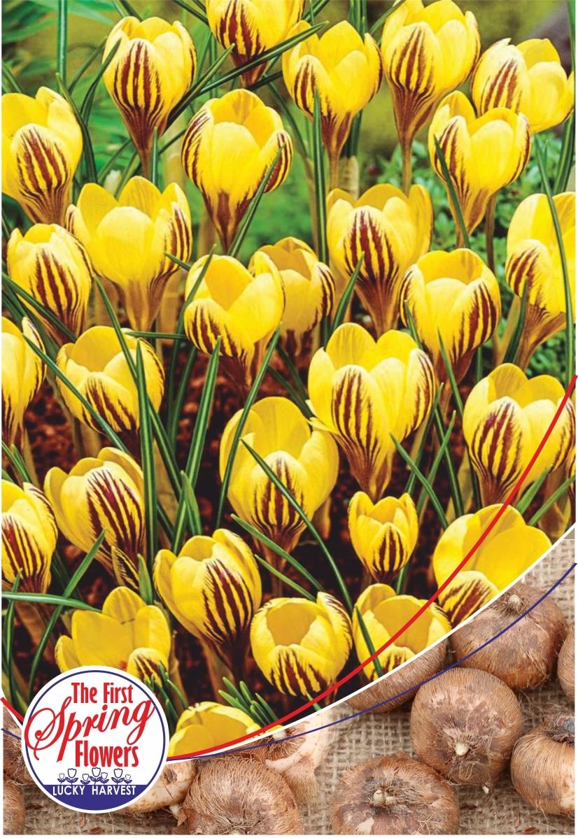 Луковицы Крокуса ботанического  Fuscotinctus  (Фускотинктус) TM Jan de Wit en Zonen B.V. ( количество в упаковке 5 луковиц)