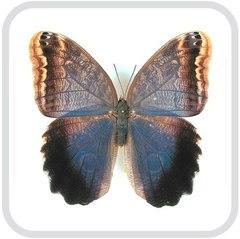 Caligo eurilochus 2