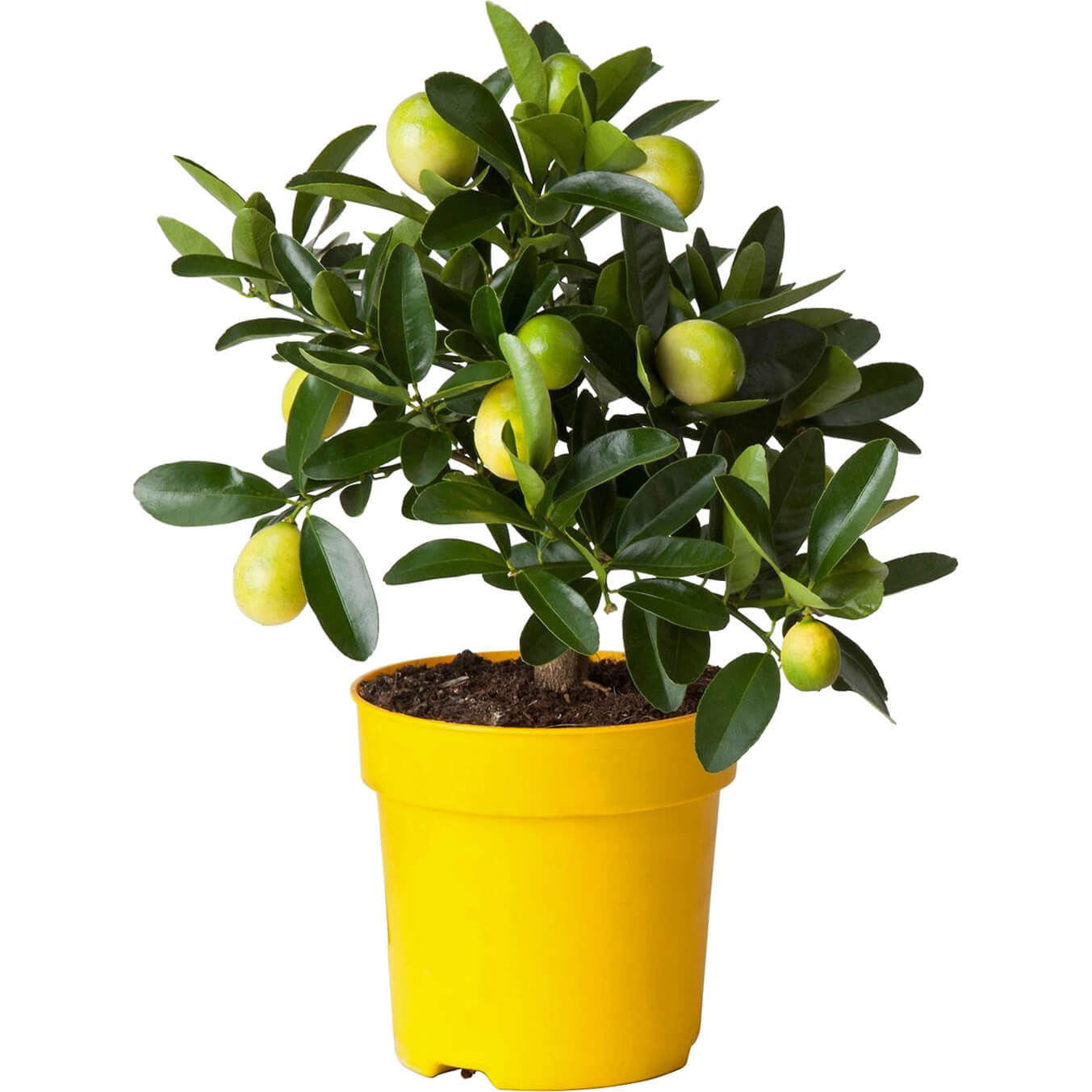 Цитрофортунелла Лимон штамб D12 H35