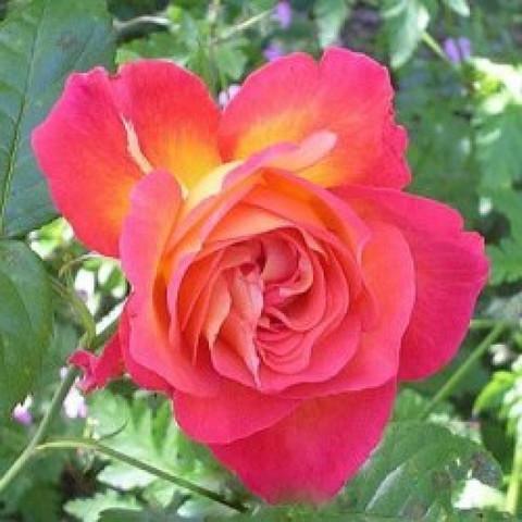 Роза чайно-гибридная Фоти Найнэ (в тубе)