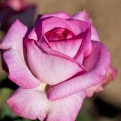 "Роза флорибунда Альтерароз ""Altera Rosa"""