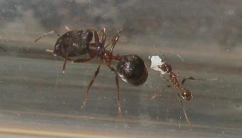 "Комплект формикарий ""Белый Дом 3.0"" и муравьи Pheidole (160х100х100 мм)"