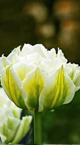 Тюльпан махровый ранний Глобал Дезайр