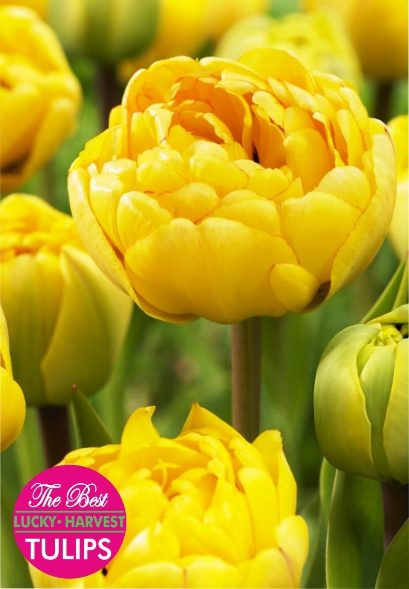 Луковицы Тюльпана Махрового позднего Double Trouble (Дабл Трабл) ТМ LUCKY HARVEST (количество в упаковке 3 луковицы)