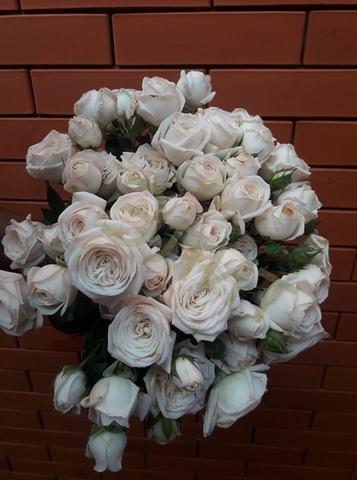 Шоу Балет(Snow ballet Premium Garden Rose)