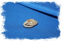 Ракушка Pythia plicata