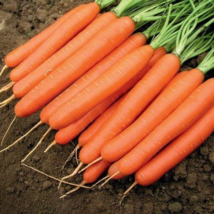 Nunhems Романс F1 семена моркови нантской (Nunhems / Нюнемс) романс_морковь_nunhems_.jpg