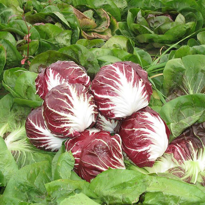 Цикорий Раффаэлло F1 семена цикория (Bejo / Бейо) раффаэлло_1.jpg