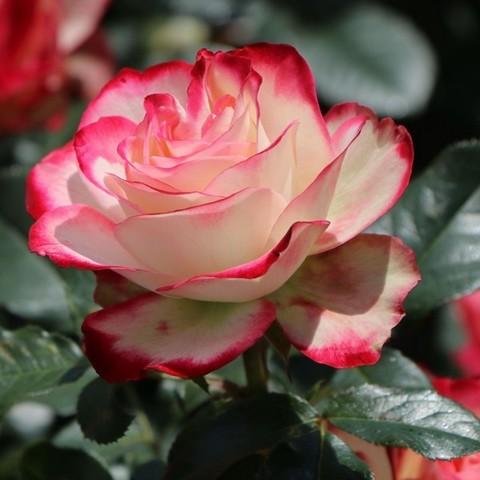 Роза флорибунда Принцесса Монако С3